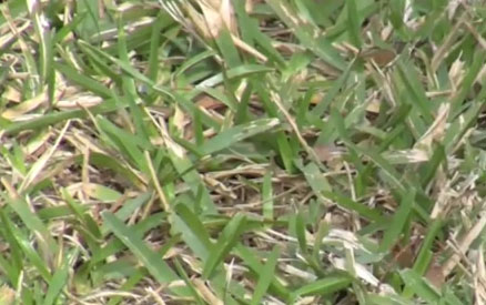 St. Augustine Grass Seasonal Maintenance – Spring 2012